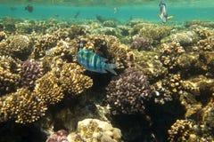 Pesci di corallo del Mar Rosso. L'Egitto Fotografia Stock Libera da Diritti