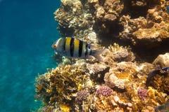 Pesci di corallo del Mar Rosso. L'Egitto Fotografie Stock Libere da Diritti