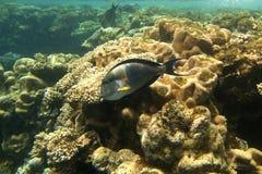 Pesci di corallo del Mar Rosso. L'Egitto Fotografia Stock