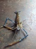 Pesci di Cray Fotografia Stock Libera da Diritti