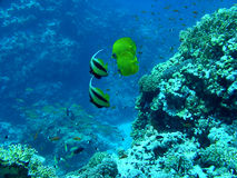 Pesci di farfalla Fotografia Stock