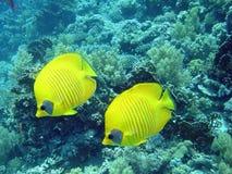 Pesci di farfalla Immagini Stock