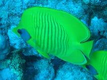 Pesci di farfalla Immagini Stock Libere da Diritti