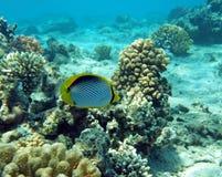 Pesci di farfalla col dorso nero Immagine Stock Libera da Diritti