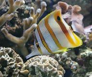 Pesci di farfalla di Copperband 2 Fotografie Stock Libere da Diritti