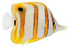 Pesci di farfalla di Copperbanded immagine stock