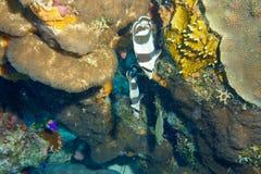 Pesci di farfalla legati Fotografia Stock
