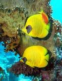 Pesci di farfalla mascherati Fotografia Stock Libera da Diritti