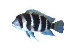 Pesci di Frontosa isolati Immagine Stock