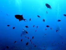 Pesci di innesco del Niger in azzurro profondo Fotografia Stock