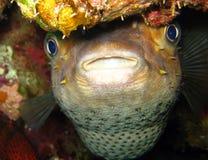 Pesci di istrice o Blowfish - Diodontidae Fotografie Stock Libere da Diritti