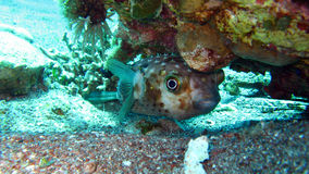 Pesci di istrice o Blowfish - Diodontidae Immagini Stock
