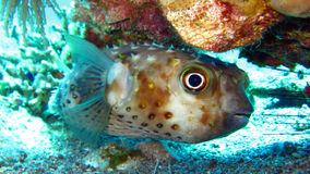 Pesci di istrice o Blowfish - Diodontidae Immagine Stock