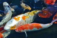 Pesci di Koi Fotografia Stock Libera da Diritti