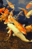 Pesci di Koi Immagini Stock Libere da Diritti