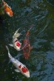 Pesci di Koi Immagini Stock