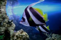 Pesci di mare. Immagine Stock