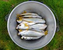 Pesci di mare grezzi Fotografie Stock