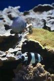Pesci di mare tropicali Fotografie Stock Libere da Diritti