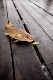 Pesci di merluzzo immagini stock