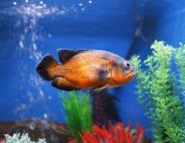 Pesci di Oscar Immagini Stock