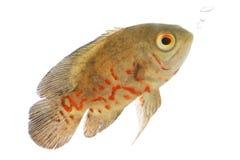 Pesci di Oscar Immagine Stock