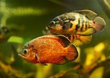 Pesci di Oscar (ocellatus di Astronotus) Immagini Stock Libere da Diritti