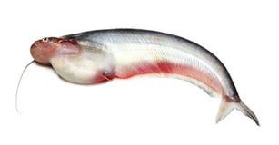 Pesci di Pabda Fotografia Stock