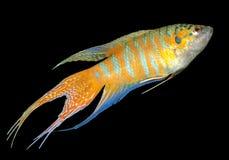 Pesci di paradiso, o Macropodus Opercularis Fotografia Stock Libera da Diritti