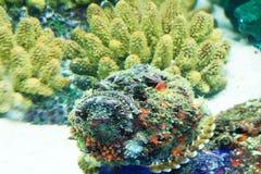 Pesci di pietra Immagine Stock