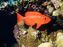 Pesci di Priacanthe Fotografia Stock