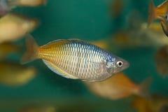 Pesci di Rainbow orientali Immagine Stock Libera da Diritti