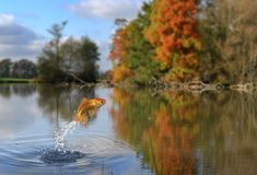 Pesci di salto dell'oro Fotografia Stock