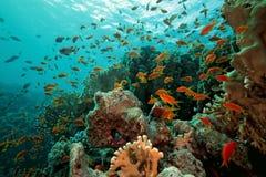Pesci di Scalefin sulla scogliera fotografia stock