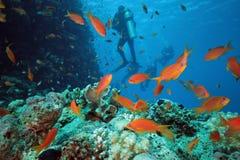 Pesci di Scalefin sulla scogliera immagini stock