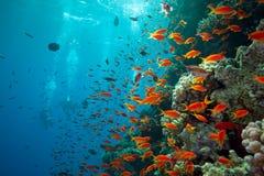 Pesci di Scalefin sulla scogliera immagine stock