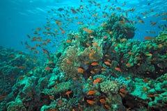 Pesci di Scalefin sulla scogliera Immagini Stock Libere da Diritti