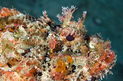 Pesci di scorpione macchiati fotografia stock