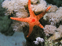 Pesci di Seastar del Mar Rosso Fotografia Stock