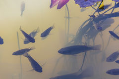 Pesci di tilapia Immagini Stock