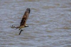 Pesci di trasporto del Osprey immagine stock