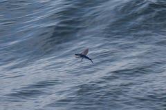 Pesci di volo fotografia stock