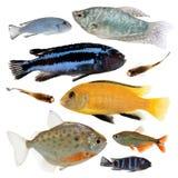 Pesci differenti dell'acquario isolati su bianco Immagine Stock Libera da Diritti