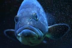 Pesci divertenti Fotografia Stock