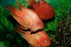Pesci dorati Immagini Stock