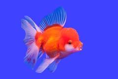 Pesci dorati Immagini Stock Libere da Diritti