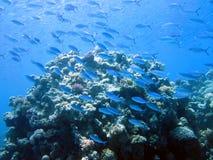 Pesci e barriera corallina Fotografia Stock
