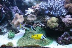Pesci e coralli Immagine Stock