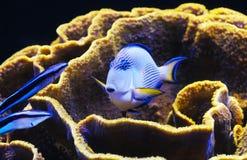 Pesci e corallo del Mar Rosso Fotografia Stock