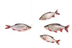 Pesci e pesce su un gancio, isolato su bianco, percorso di ritaglio Fotografie Stock Libere da Diritti
